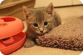 Domestic Shorthair Kitten for adoption in Tampa, Florida - Elliot