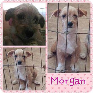 Terrier (Unknown Type, Medium) Mix Puppy for adoption in Phoenix, Arizona - Morgan