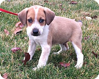 Labrador Retriever/Hound (Unknown Type) Mix Puppy for adoption in West Milford, New Jersey - PIE-pending