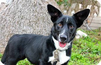 Border Collie/Welsh Corgi Mix Dog for adoption in Los Angeles, California - Norbert - 28 pounds