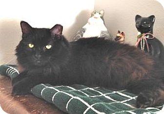 Domestic Longhair Cat for adoption in Colorado Springs, Colorado - Glenda