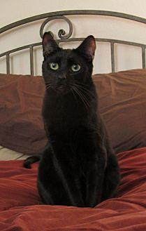 Domestic Shorthair Cat for adoption in Sherman Oaks, California - Abbott
