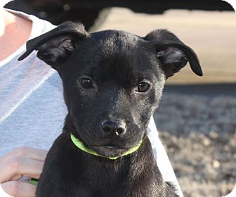 Labrador Retriever Mix Puppy for adoption in kennebunkport, Maine - Skylar - PENDING, in Maine