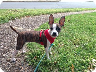 Boston Terrier/Chihuahua Mix Puppy for adoption in Courtland, Alabama - Chloe