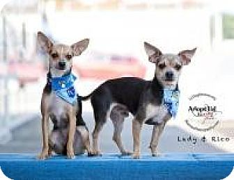 Chihuahua Dog for adoption in Shawnee Mission, Kansas - Lady