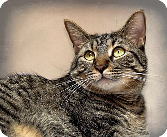 Domestic Shorthair Cat for adoption in Houston, Texas - Oakley
