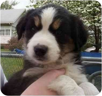 Husky/Basset Hound Mix Puppy for adoption in Princeton, Indiana - Chloe