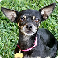 Adopt A Pet :: Victoria - I'm an easy dog! - Bellflower, CA