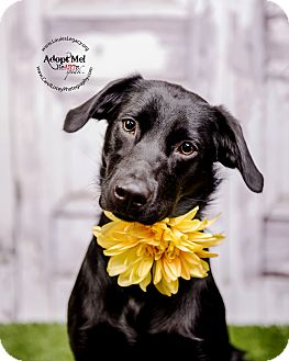 Labrador Retriever Mix Dog for adoption in Cincinnati, Ohio - Pepper