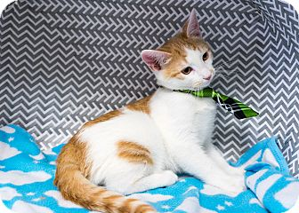 Domestic Shorthair Kitten for adoption in Montclair, California - Riley