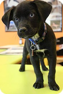 Labrador Retriever/Husky Mix Puppy for adoption in New Orleans, Louisiana - Curly