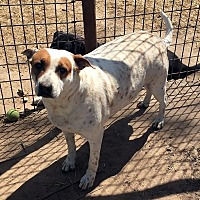 Catahoula Leopard Dog/Mixed Breed (Medium) Mix Dog for adoption in Quinlan, Texas - Lioness