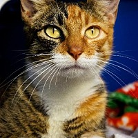 Adopt A Pet :: Patience - Hot Springs, AR