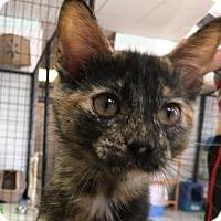 Adopt A Pet :: Nim - Saint Robert, MO