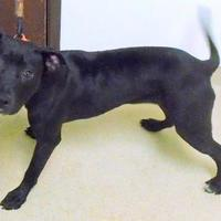 American Pit Bull Terrier Mix Dog for adoption in Gary, Indiana - Diva
