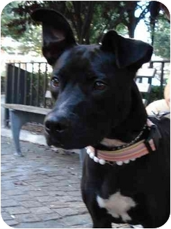 Labrador Retriever/American Staffordshire Terrier Mix Dog for adoption in Freeport, New York - Lady Godiva