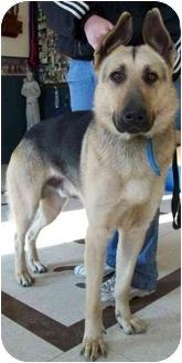 German Shepherd Dog Dog for adoption in North Judson, Indiana - Kringle