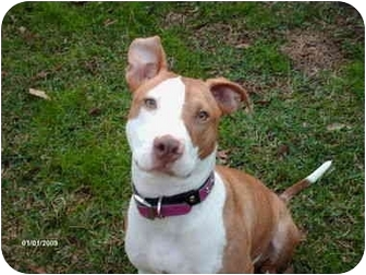 Bull Terrier Mix Dog for adoption in Kingwood, Texas - Dixie