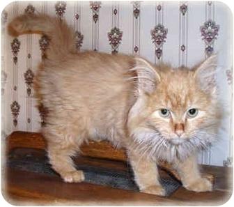 Domestic Longhair Kitten for adoption in Howell, Michigan - Chazel Dazel