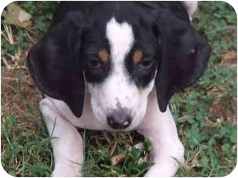 Beagle Mix Puppy for adoption in Portland, Maine - Jill