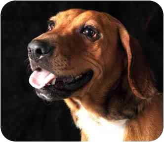 Beagle/Bloodhound Mix Dog for adoption in Chicago, Illinois - Hollywood*ADOPTED!*