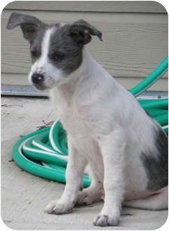 Sheltie, Shetland Sheepdog/Tibetan Terrier Mix Puppy for adoption in Alabaster, Alabama - Gracie baby