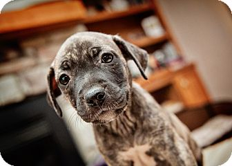 Boxer/Terrier (Unknown Type, Medium) Mix Puppy for adoption in Howell, Michigan - Mandy