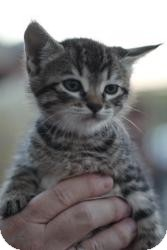 Maine Coon Kitten for adoption in justin, Texas - Aida