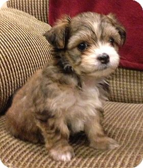 Shih Tzu/Cockapoo Mix Puppy for adoption in La Habra Heights, California - Hope