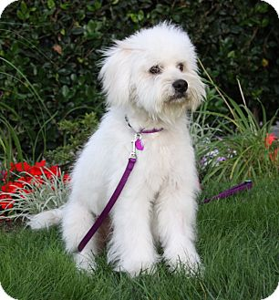 Goldendoodle Mix Dog for adoption in Newport Beach, California - HAVEN