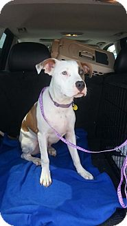 Boxer/Pit Bull Terrier Mix Dog for adoption in Greer, South Carolina - Lucas
