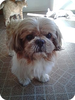 Shih Tzu Mix Dog for adoption in Kalamazoo, Michigan - Lennon - Mary