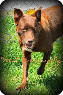 Labrador Retriever Mix Dog for adoption in Clarksville, Tennessee - Polly