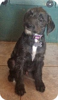 Poodle (Standard)/Dalmatian Mix Puppy for adoption in Mandeville Canyon, California - Curly