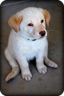 German Shepherd Dog/Siberian Husky Mix Puppy for adoption in Phoenix, Arizona - Yellow