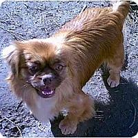 Adopt A Pet :: Clover - dewey, AZ