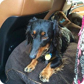 Dachshund Dog for adoption in Coatesville, Pennsylvania - Chester Cadbury, Duke of the East