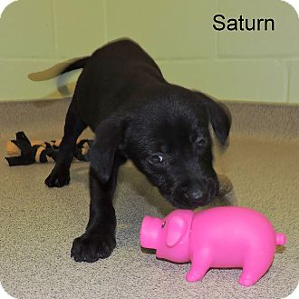 Labrador Retriever Mix Puppy for adoption in Slidell, Louisiana - Saturn
