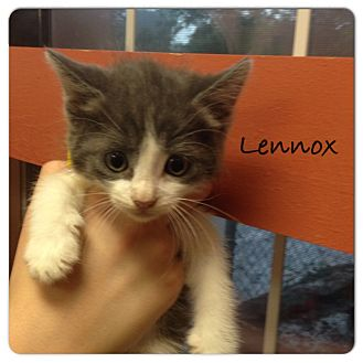 Domestic Shorthair Kitten for adoption in Carencro, Louisiana - Lennox