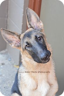 German Shepherd Dog Puppy for adoption in Indianapolis, Indiana - Liesel