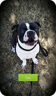 Boston Terrier Dog for adoption in Weatherford, Texas - TOKI