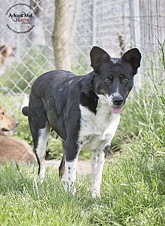 Border Collie/Terrier (Unknown Type, Medium) Mix Dog for adoption in Iola, Texas - Kylie