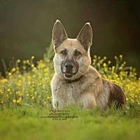 German Shepherd Dog Dog for adoption in Morrisville, North Carolina - Dixie
