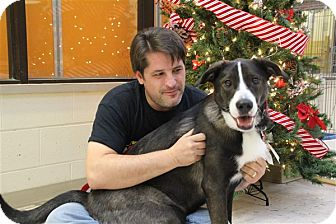 Border Collie/Greyhound Mix Dog for adoption in Elyria, Ohio - Gypsy