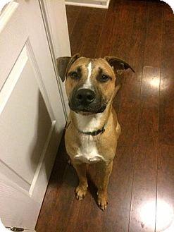 Labrador Retriever/Pit Bull Terrier Mix Dog for adoption in Raeford, North Carolina - Mr. Gold