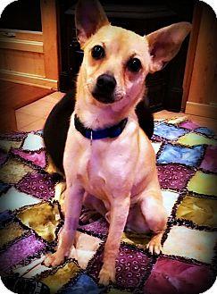 Chihuahua/Italian Greyhound Mix Dog for adoption in Tijeras, New Mexico - Jackson