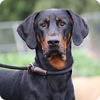 Adopt A Pet :: Sherman - Fillmore, CA