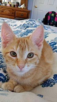 Domestic Shorthair Kitten for adoption in Nashville, Tennessee - Sweet One