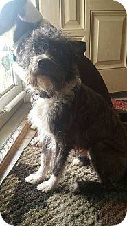Cairn Terrier Mix Dog for adoption in Media, Pennsylvania - Mitzy