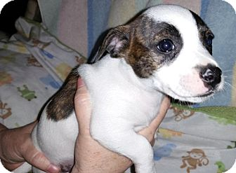Chihuahua/Jack Russell Terrier Mix Puppy for adoption in Savannah, Georgia - Bruiser